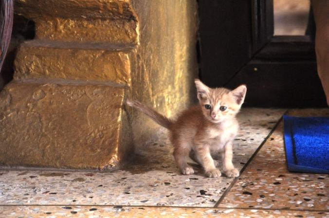 i laotański kot świątynny